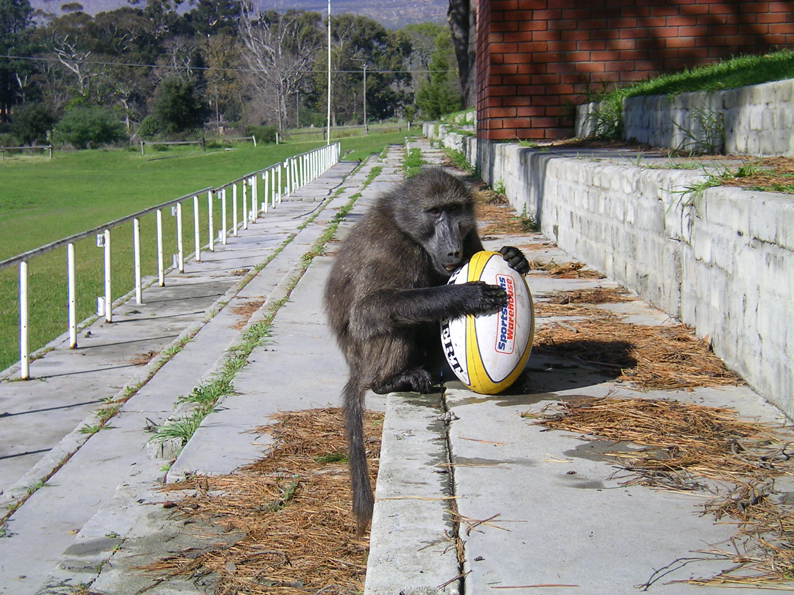 """""""Juvenile chacma baboon playing with rugby ball on the playing/sports field at Chrysalis Academy, Tokai, Cape Town."""" Photograph taken by NYAS Anthropology Board Member Shahrina Chowdhury"""